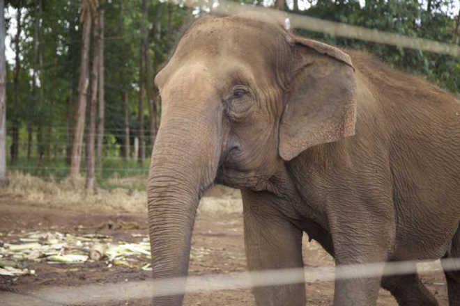 Veterinária da Sema garante que não há riscos de doenças infecciosas no Santuário de Elefantes em Chapada dos Guimarães, MT