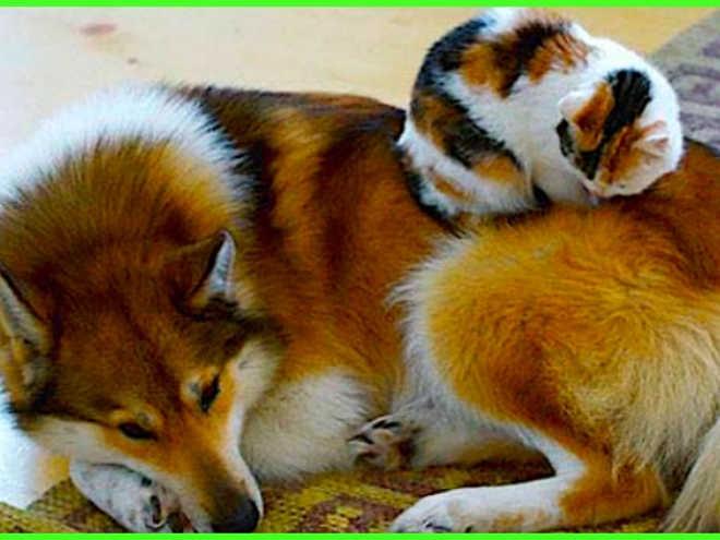 Gatos que adoram dormir com os seus amigos cães