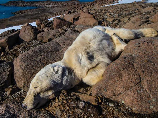 Fotos chocantes de ursos polares jovens que morreram de fome são um alerta brutal para todos nós