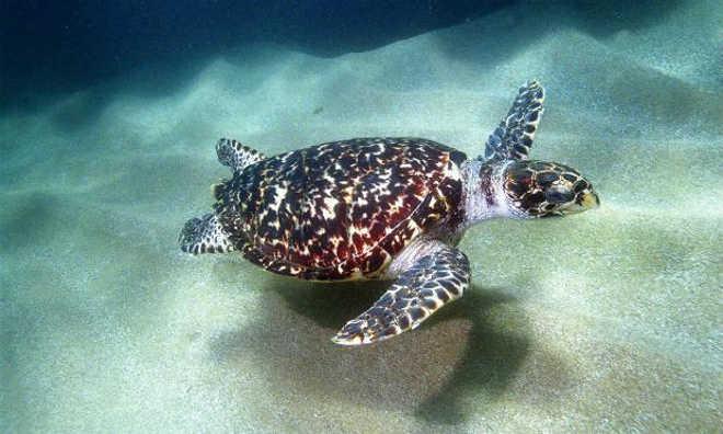 Tartarugas-marinhas começam a visitar Pernambuco para desova