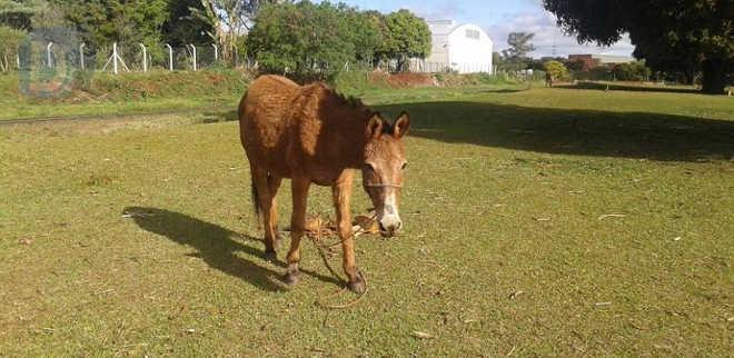 Guarda Ambiental checa denúncias de maus-tratos a cavalos em Arapongas, PR