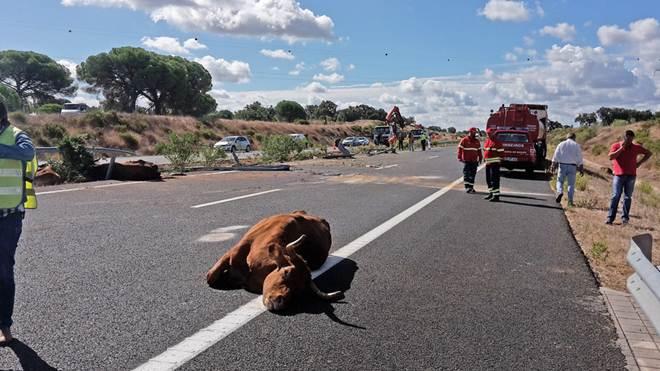 Despiste de camião com vacas corta A13 em Benavente