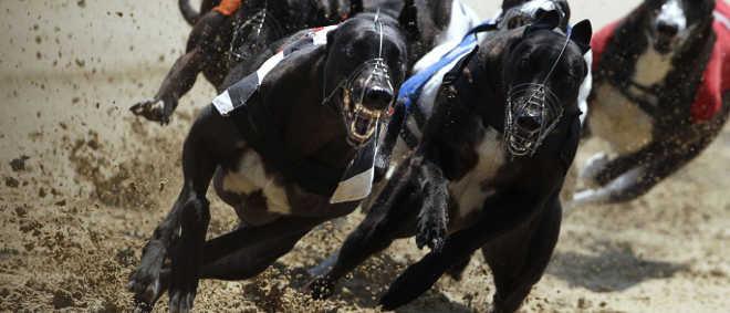 Ministério diz desconhecer corridas de galgos em Portugal, PAN reage