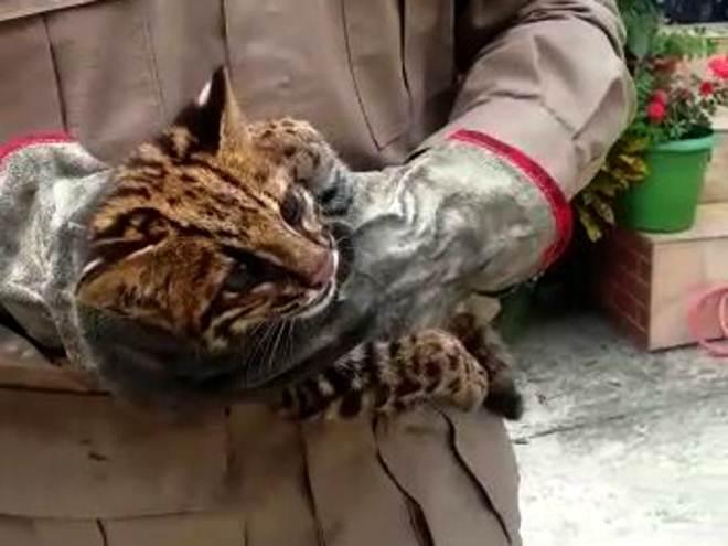 Filhote de jaguatirica é capturado no quintal de casa em Piraí, RJ