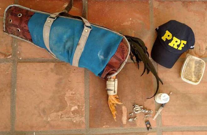 PRF flagra maus-tratos a galo em Dom Pedrito, RS