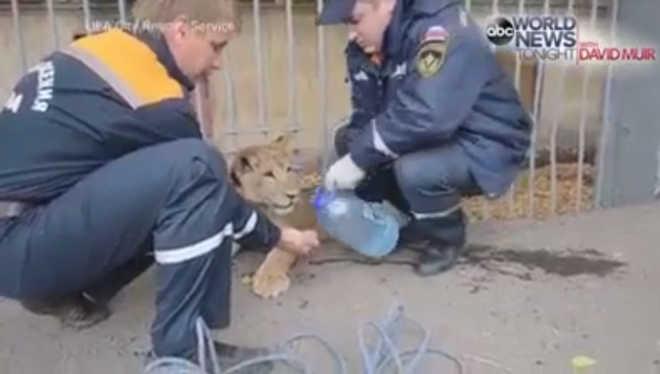 Leão dado como prenda a criança foi encontrado a vaguear na rua; vídeo