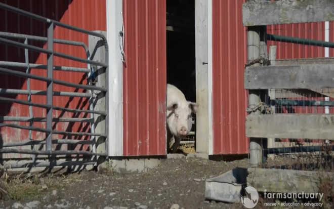 Doce reunião de mamãe porca com seus filhotes após cirurgia fará você ganhar seu dia