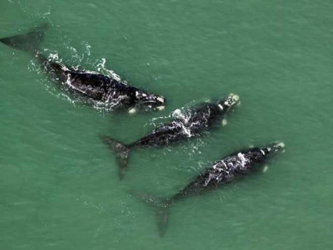 Retrocesso: Justiça libera turismo embarcado de baleias no litoral catarinense
