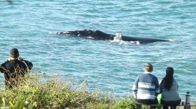 Você sabe porque a observação da baleia-franca austral em seu berçário em SC tem que ser por terra?