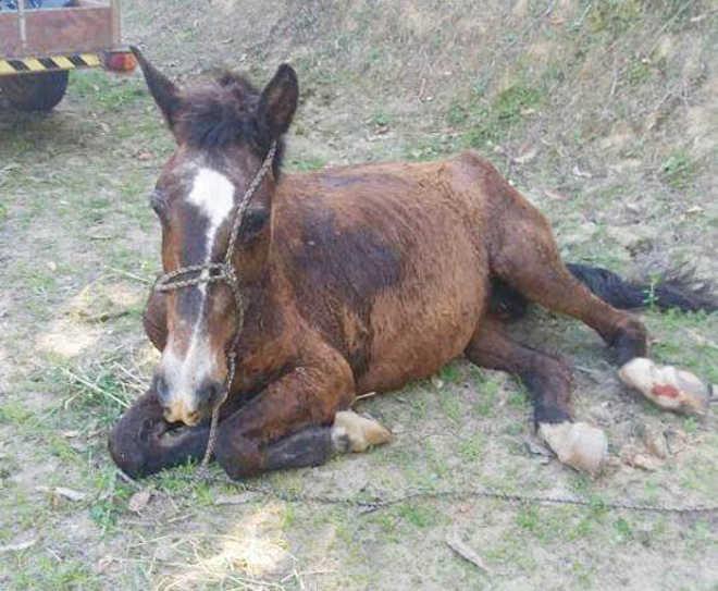 Égua resgatada prenha em Itapema (SC) não resiste a maus-tratos e morre