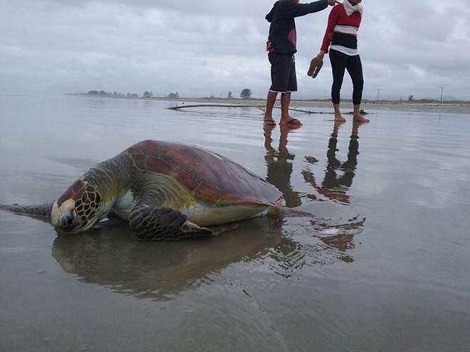 Tartarugas da espécie verde encalham em praias de Ilha Comprida, SP