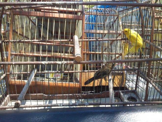 Homem faz comércio ilegal de aves silvestres em Limeira (SP) e é autuado em R$ 22 mil