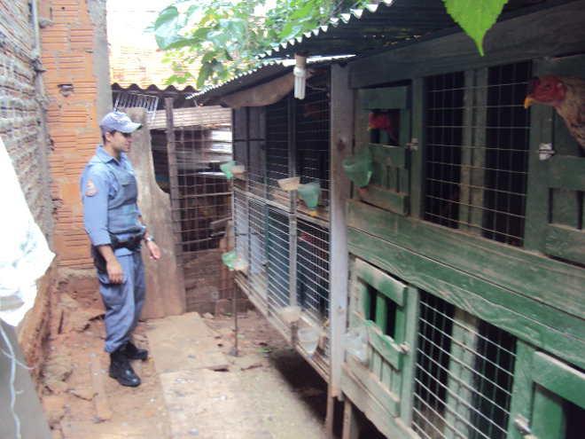 Polícia resgata pássaros nativos em cativeiro e multa criador de galos índios em situação de maus-tratos em Marília, SP