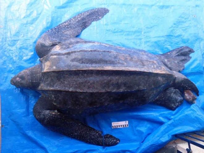 Tartaruga de couro de quase 2 metros é encontrada morta em Mongaguá, SP