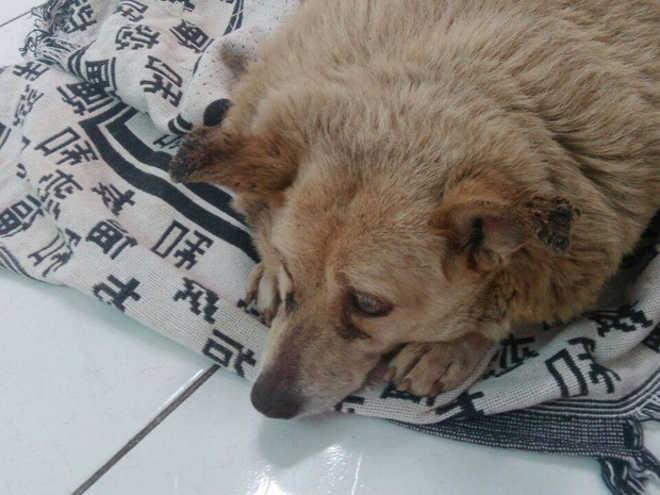 Mascote da vizinhança, cadela alimentada com marmita fica obesa