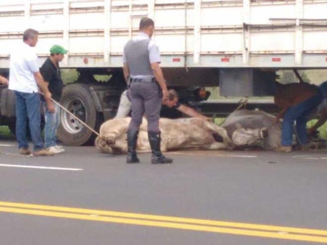 Bois caem de carreta em rodovia após assoalho de veículo ceder