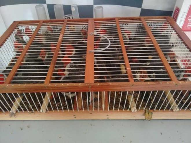 Homem usa gaiola minúscula para transportar quase 40 aves silvestres
