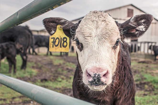 Leis de bem-estar não protegem os animais de fazenda da crueldade