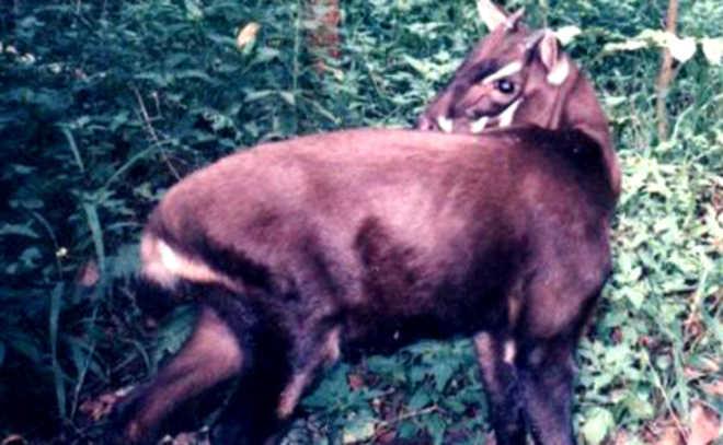 Resgatando o último dos unicórnios: como você pode ajudar a salvar o cervo em perigo que ninguém sabe que existe