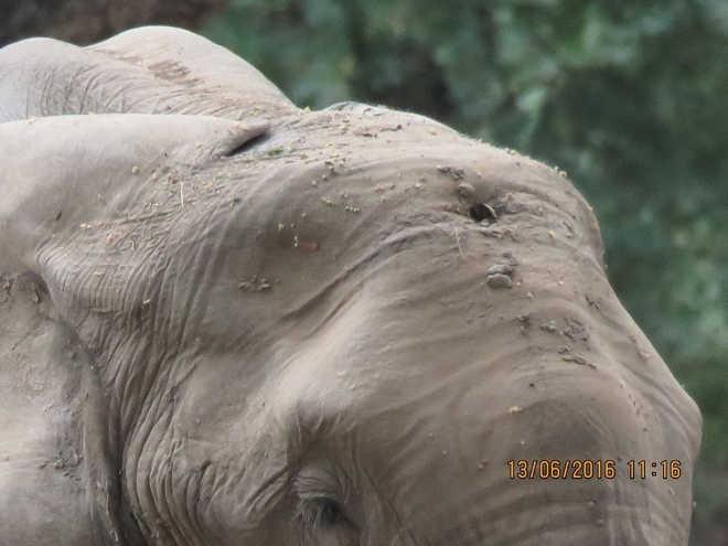 Elefante baleado na cabeça busca socorro de humanos