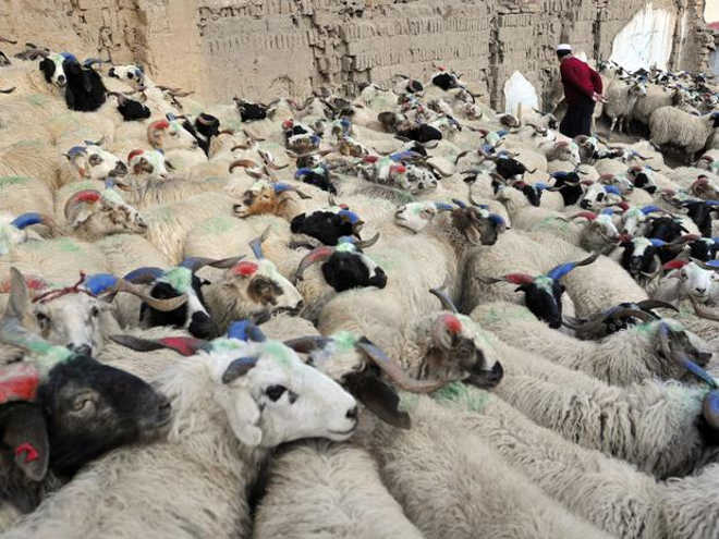 Espanha: PACMA exige proibição de sacrifícios de animais em rituais religiosos