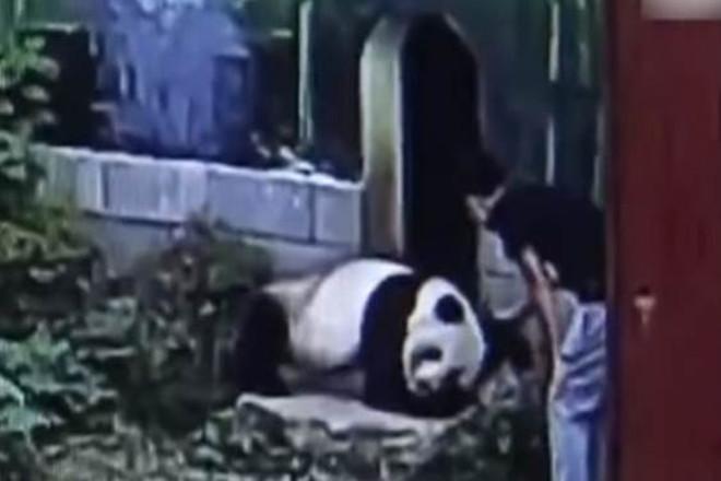 Homem invade recinto de panda, acorda animal e é atacado