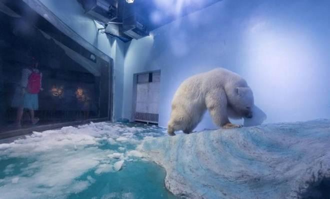 Ursa polar de shopping chinês dá sinais de declínio mental, dizem ativistas