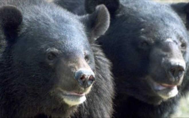 Homem adotou por engano casal de ursos pensando que eram filhotes de cachorro