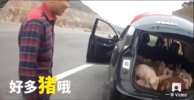 Homem apanhado com mais de vinte porcos no porta-bagagem