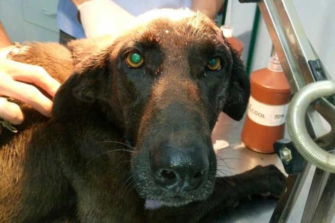 Cadela sobrevive após ser atingida por tiros na cabeça em Cachoeiro de Itapemirim, ES