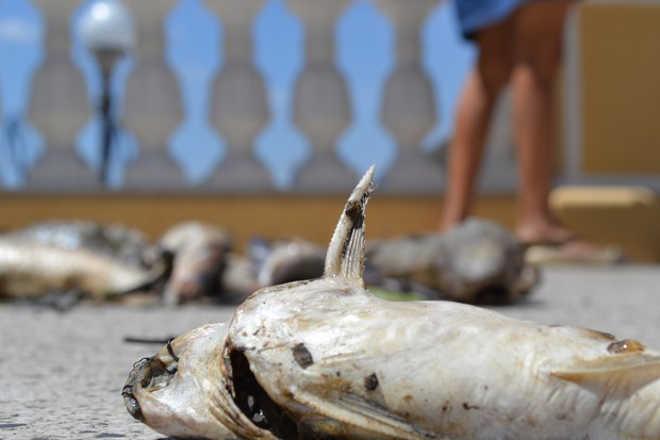 Peixes mortos são despejados nas escadas do Palácio Anchieta em Vitória, ES
