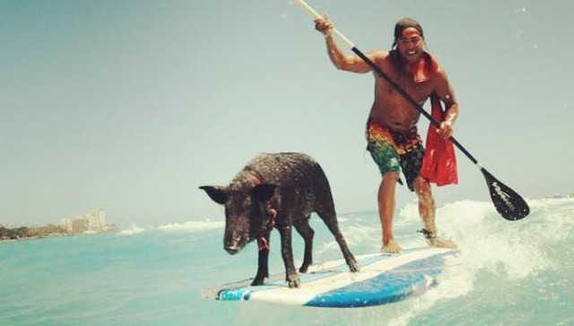 Porco resgatado ama surfar – e nada mais rápido do que todo mundo