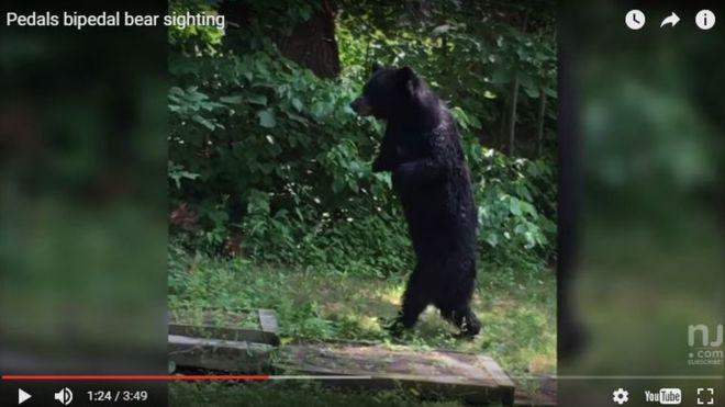 Morte de urso famoso por andar sobre duas patas gera comoção e põe caça em xeque nos EUA