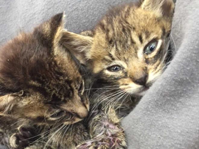 Dois gatinhos que foram amarrados juntos e usados como iscas para briga de cães são resgatados bem a tempo