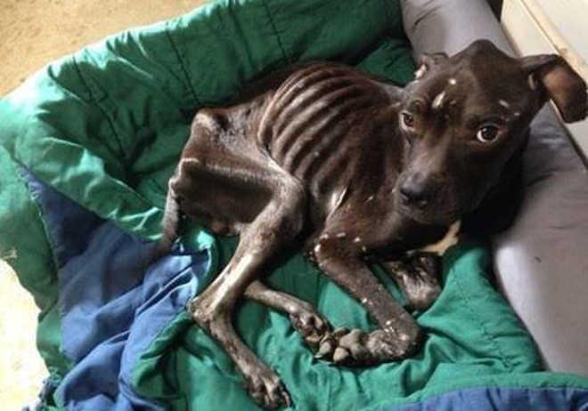 No leito da morte, cão faminto consegue quebrar janela de trailer para salvar sua vida