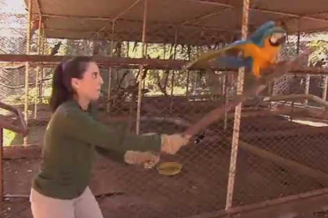Araras resgatadas feridas treinam em 'academia' para voltar a voar em Goiânia, GO