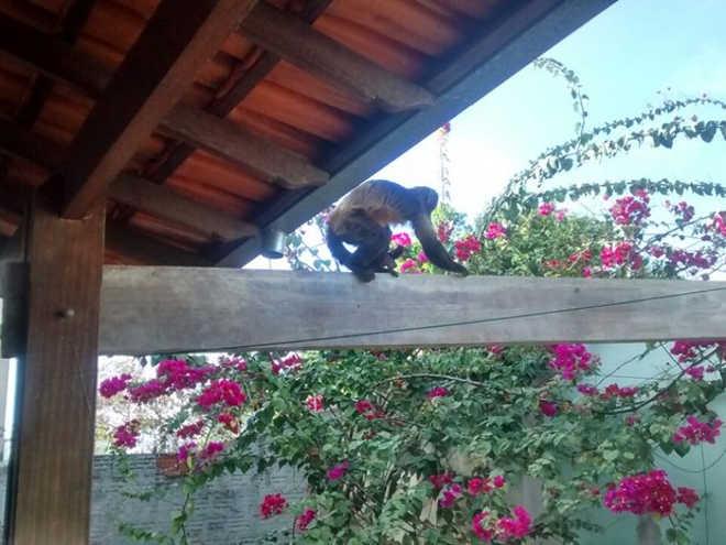 Macacos fogem de zoológico e invadem casas em Montes Claros, MG