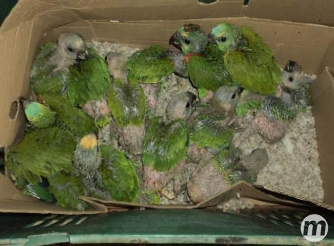 Funcionário de fazenda captura filhotes de papagaio e acaba preso pela PMA, em MS