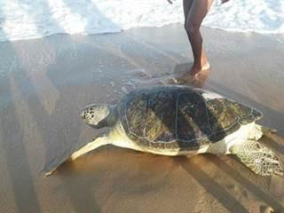 Tartaruga é achada morta em praia de João Pessoa e corpo permanece no local há mais de 24h