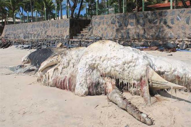 Baleia cachalote é encontrada morta na Praia de Maracaípe, em Ipojuca, PE