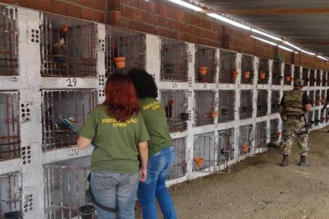 CPRH apreende 145 galos de briga e multa dono de rinha em R$ 435 mil em Toritama, PE