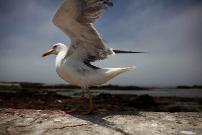 Portugal: Produto usado no controle de gaivotas nos Açores pode ter implicações na saúde pública