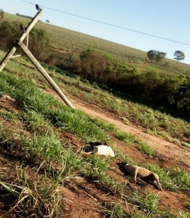 Descarga elétrica mata cachorros e aves após temporal em Ibitinga, SP