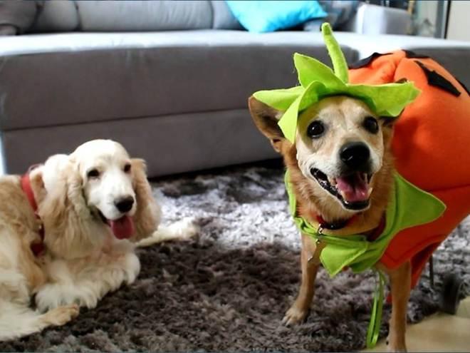 Cadela paraplégica se 'alia' com cães e arrecada ração para ONG de animais