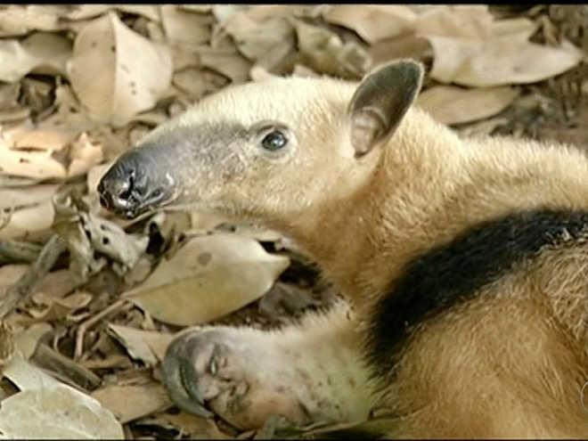 Tamanduá-mirim é resgatado e devolvido à natureza após tratamento, em TO