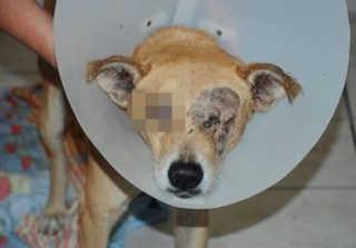 Cachorro fica cego após carro pertencente ao IBGE passar sobre sua cabeça na PB