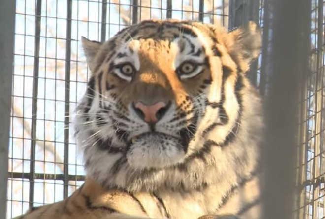 Bode é colocado em jaula para ser comido por tigre, mas eles acabam brincando juntos