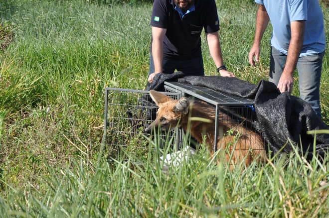 Lobo-guará é capturado em área urbana em Porto Feliz, SP