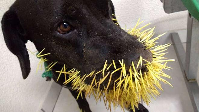 Cãozinho leva a pior ao 'brincar' com ouriço em Franca, SP