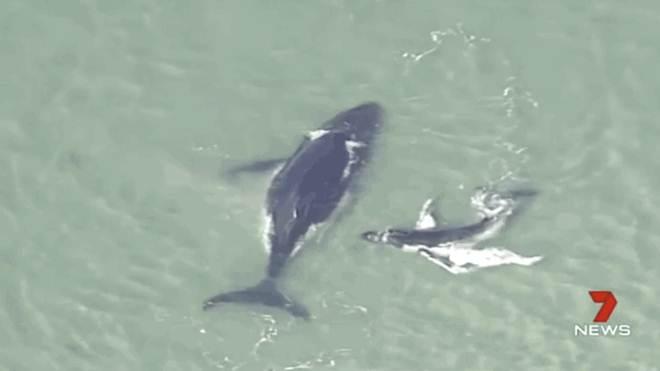 Filhote de baleia tenta desesperadamente salvar mãe encalhada